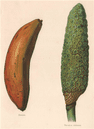 BANANA; Monstera Deliciosa (FRUIT SALAD PLANT). WRIGHT Chromolithograph, 1892